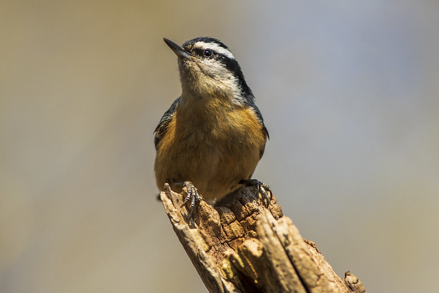 Red-breasted Nuthatch   Sita canadenis
