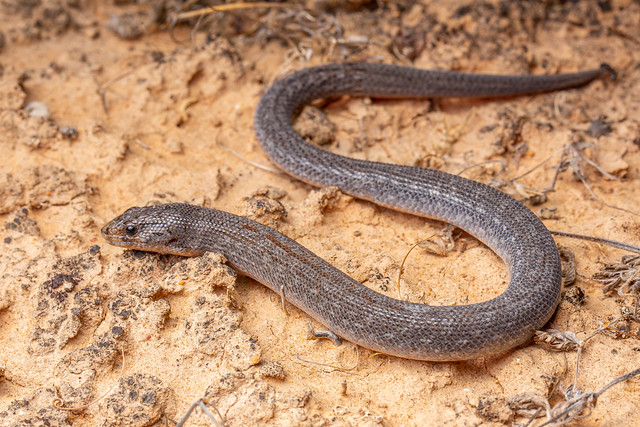 Eastern Hooded Scaly-foot - Pygopus schraderi
