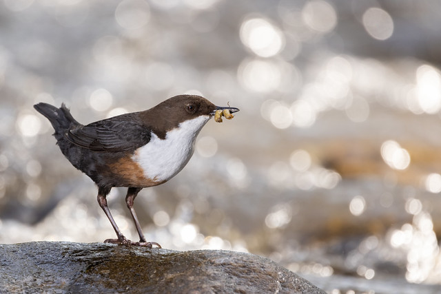 Dipper with a good catch