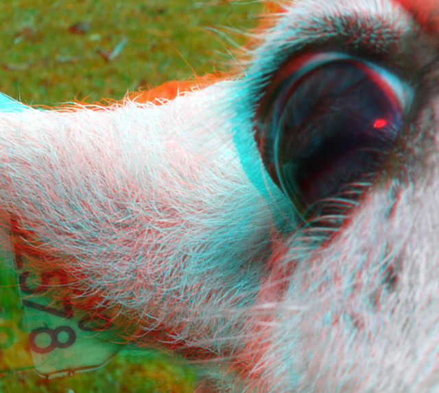 Sheep eye 3D