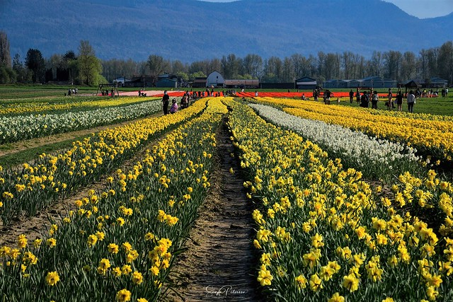 2021 Chilliwack Tulip Festival  (Formerly Tulips of the Valley)
