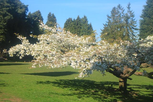 Panteg Park Cherry Blossom