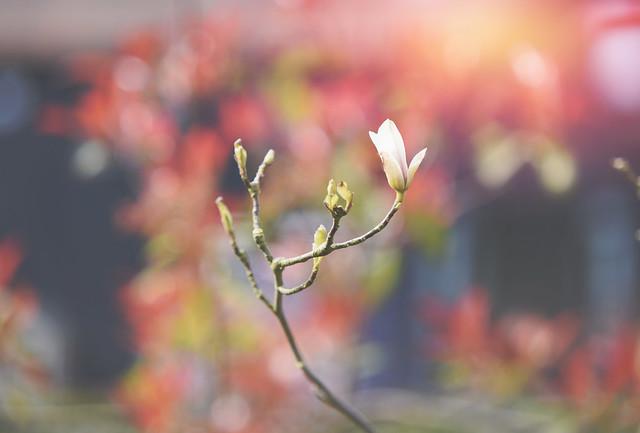 A New Magnolia Tree...