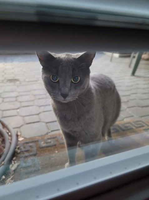 SIGHTING grey cat #Sunnyside #Hillhurst Pls RT, share for owner awareness. Sighting: this cat is hanging around 10th street and 5 Ave nw in #sunnyside #hillhurst .. very skittish will not let me come close. Seen it around for about a week now. Not sure if