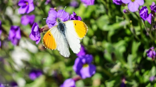 9662 - Butterfly