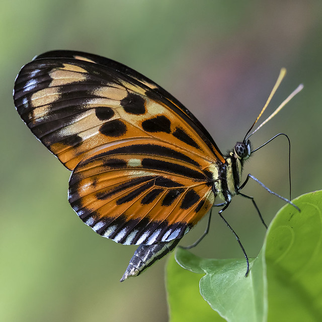 Heliconius Butterfly, Fairchild Tropical Botanic Garden.
