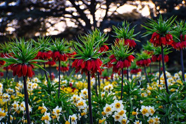 Crown Imperial (Fritillaria rubra)