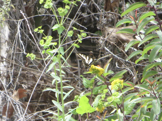just a glimpse of a swallowtail