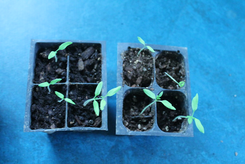 chocolate cherry tomato seedlings
