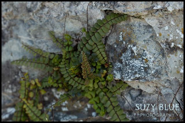 Interesting fern growing in wall