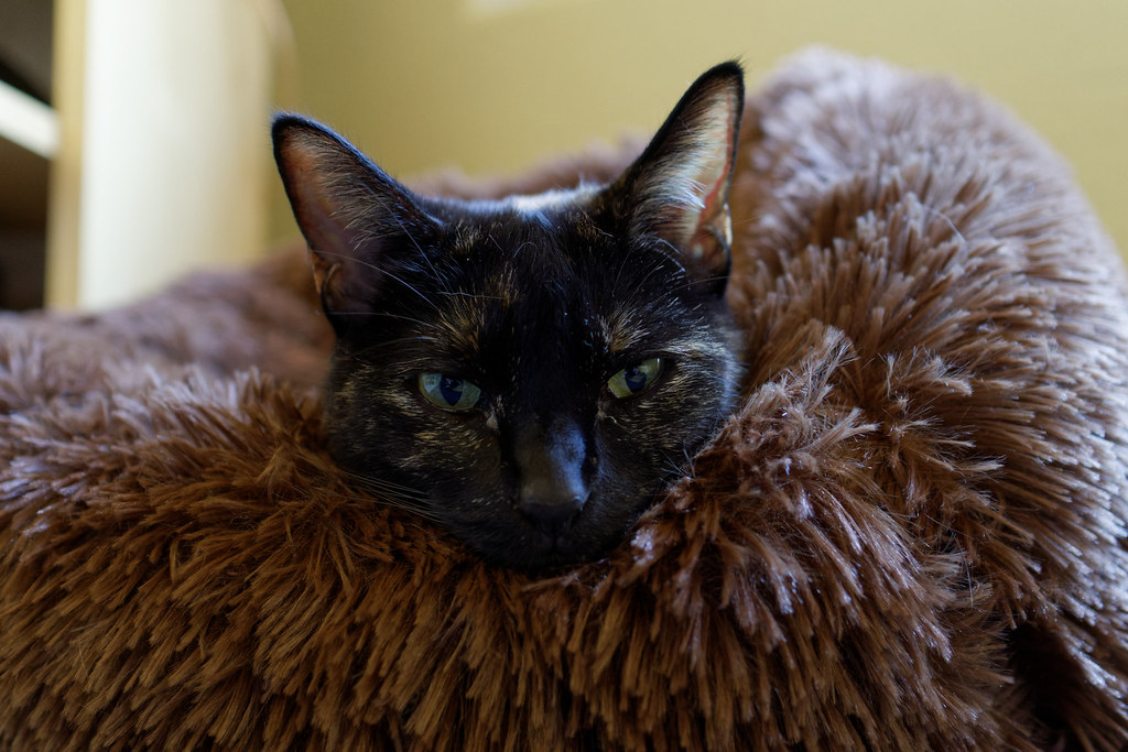 A close-up of our cat Trixie as she looks out from her cat bed on April 5, 2021. Original: _RAC6772.arw
