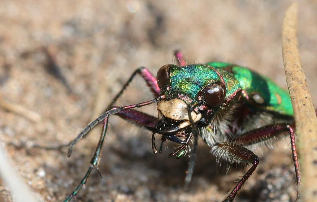 Green Tiger Beetles (1 of 3)