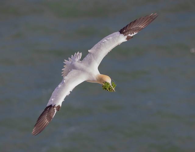 Gannet preparing its nest