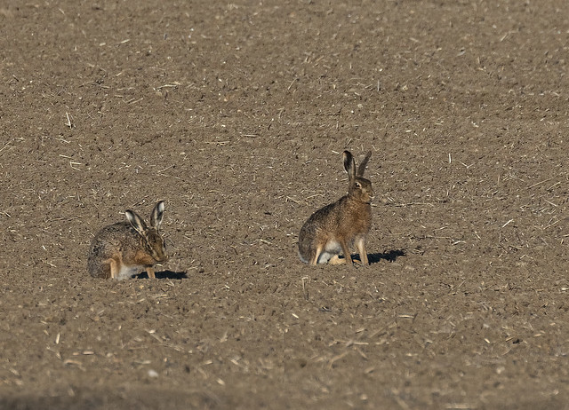 Hares_1178