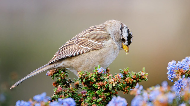 Dinner Time: White-crowned Sparrow