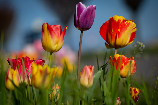 Colorful tulips shining in the sun