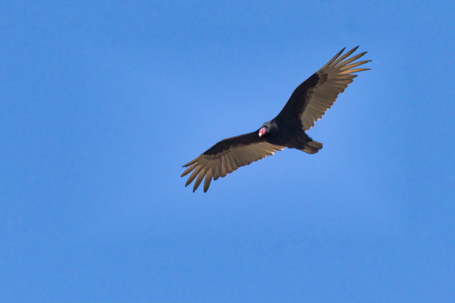 Urubu à tête rouge ---  Turkey vulture ---Buitre americano cabecirrojo