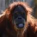 "<p><a href=""https://www.flickr.com/people/154721682@N04/"">Joseph Deems</a> posted a photo:</p>  <p><a href=""https://www.flickr.com/photos/154721682@N04/51137111607/"" title=""Orangutan""><img src=""https://live.staticflickr.com/65535/51137111607_9a8d119a6f_m.jpg"" width=""226"" height=""240"" alt=""Orangutan"" /></a></p>  <p>Fort Worth Zoo</p>"