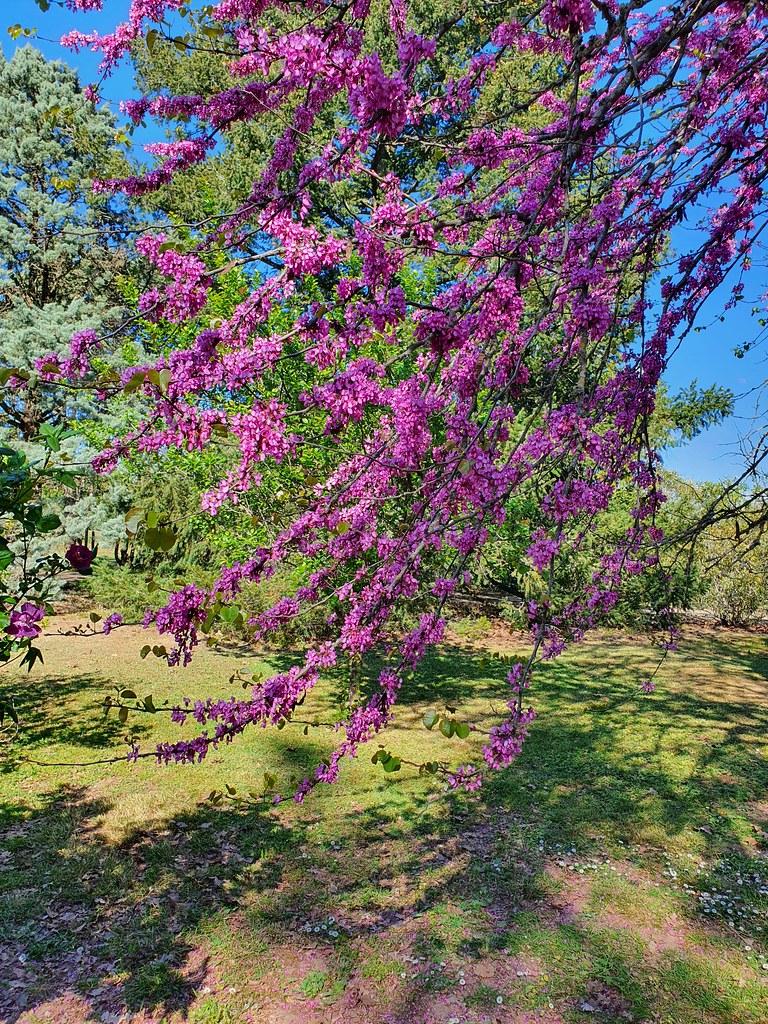 L'arbre rose de Judée