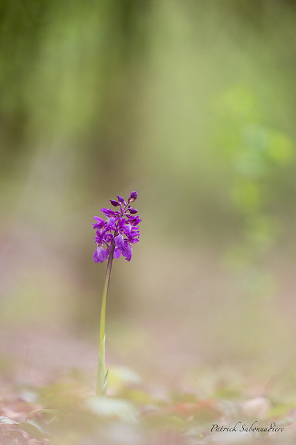 Orchis mâle-Orchis mascula