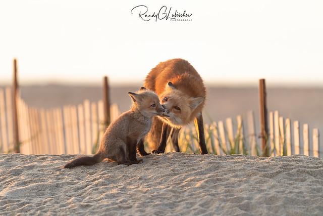 Red Fox | Vulpes Vulpes | 2021 - 6