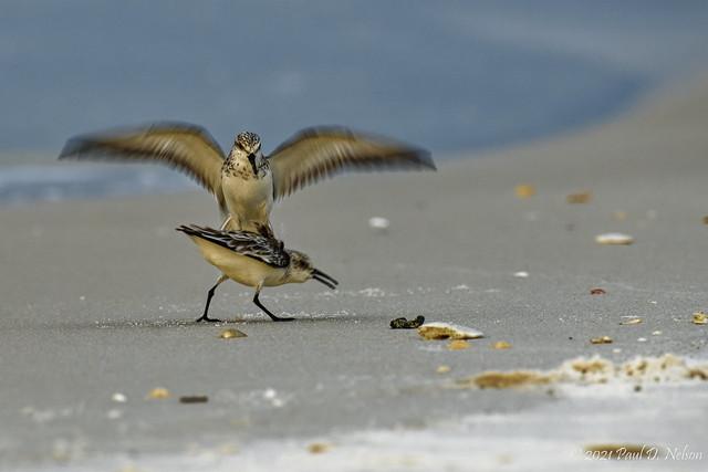 _PDN9971_Sanderlings; Navarre Beach, Florida