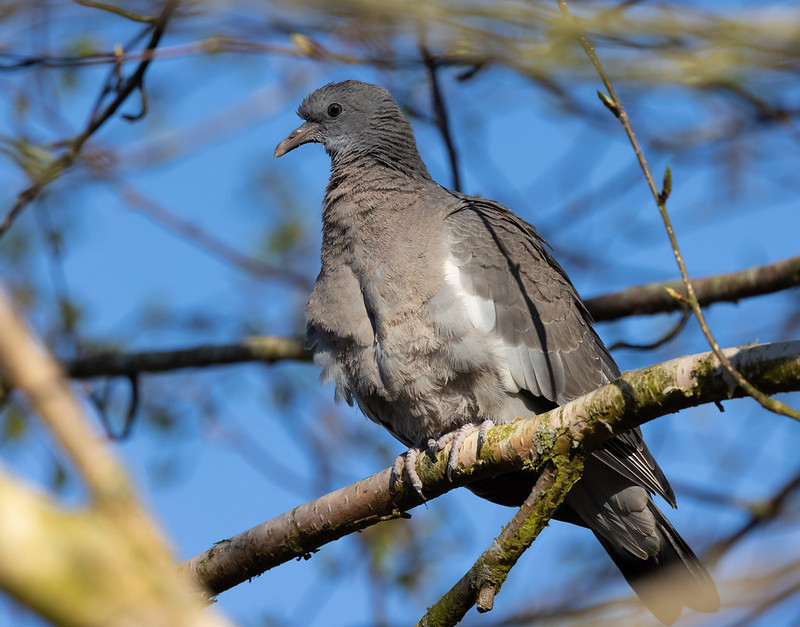 Fledgling Wood Pigeon