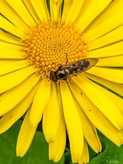 20200208_creteil_insecte, syrphes
