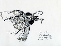 Mite alimentaire / Flour moth