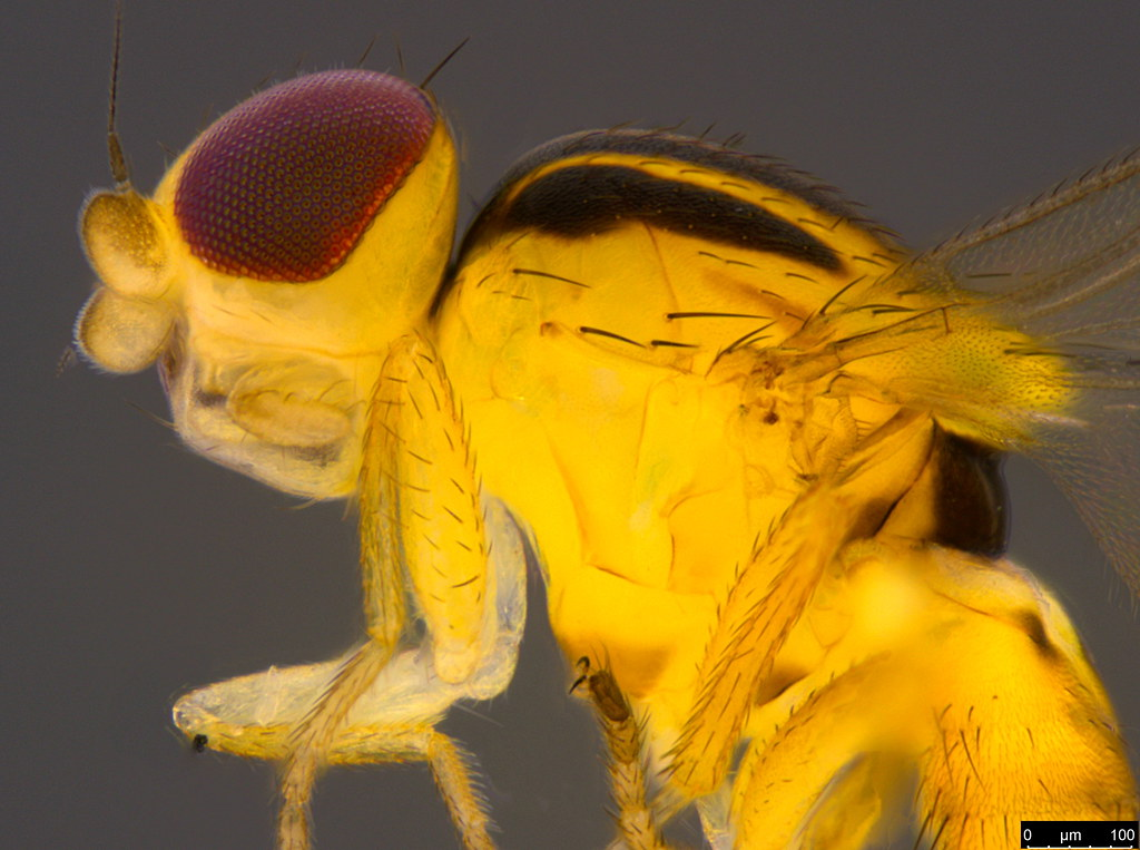 6b - Chloropidae