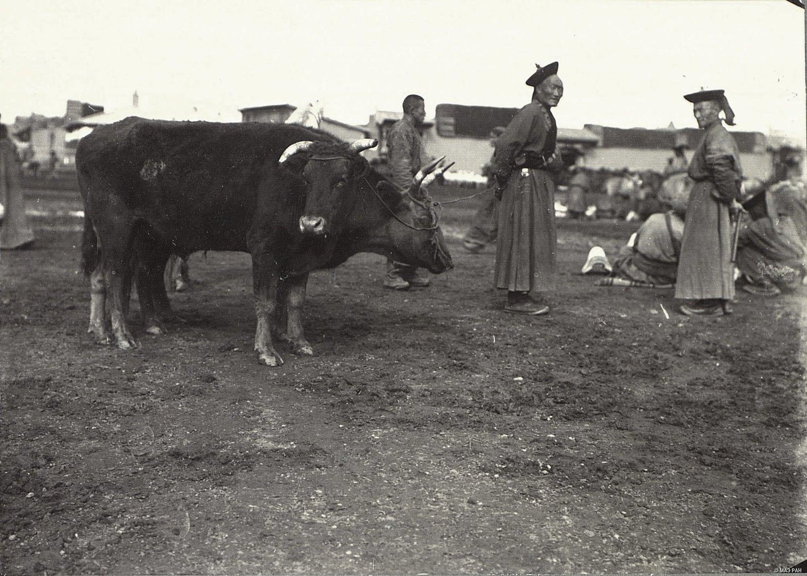 Урга. Рогатый скот на Ургинском базаре