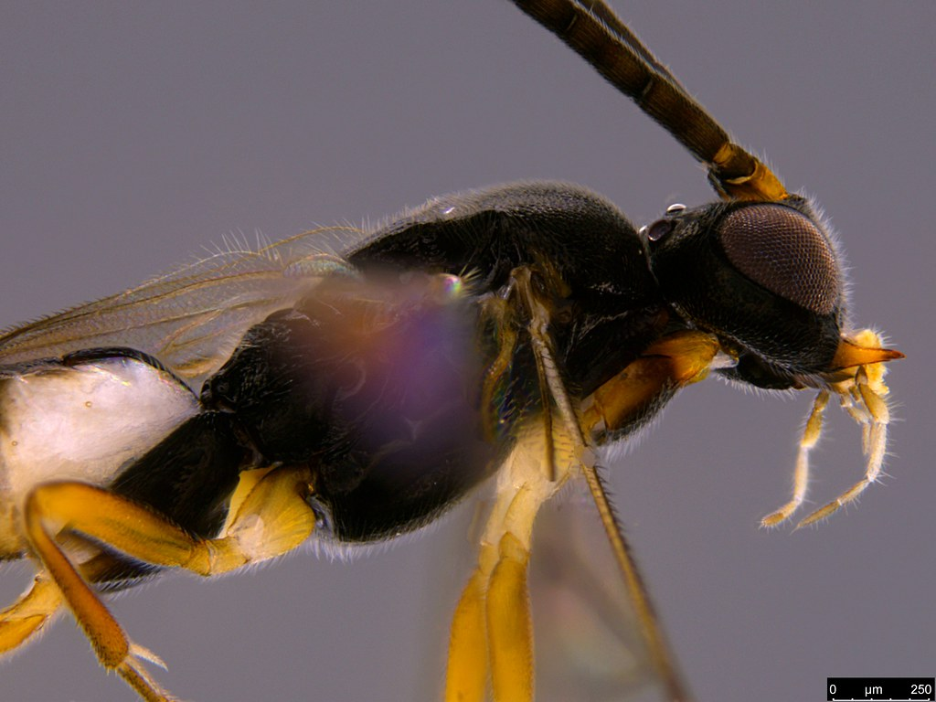 15b - Braconidae sp.