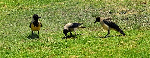 Jaffa / Hooded Crow Picnic