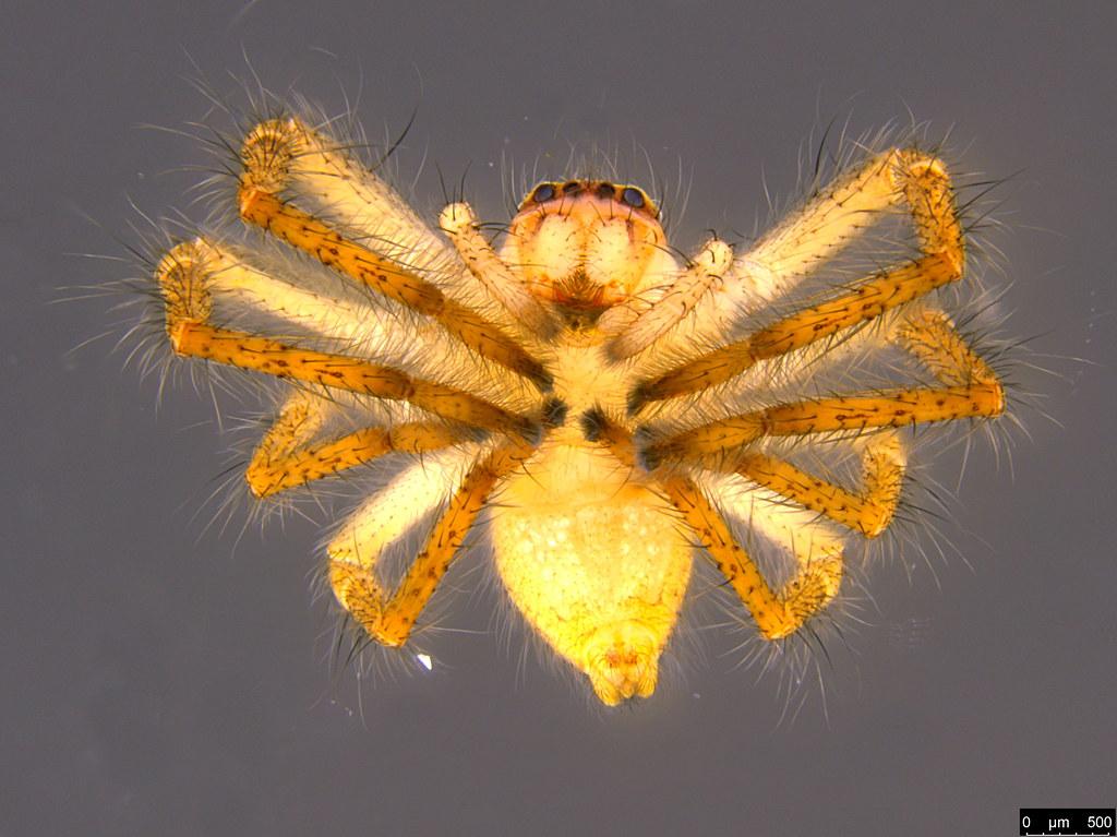 1c - Araneae sp.