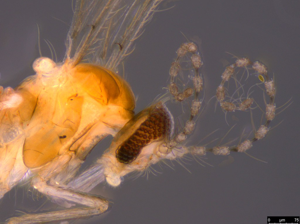 4b - Diptera sp.