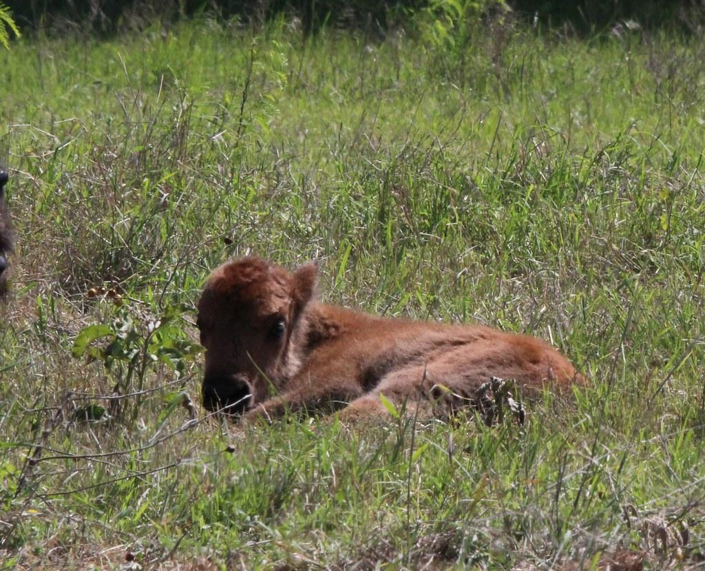 Bison Calf  Ft Worth Nature Center 4-25-21