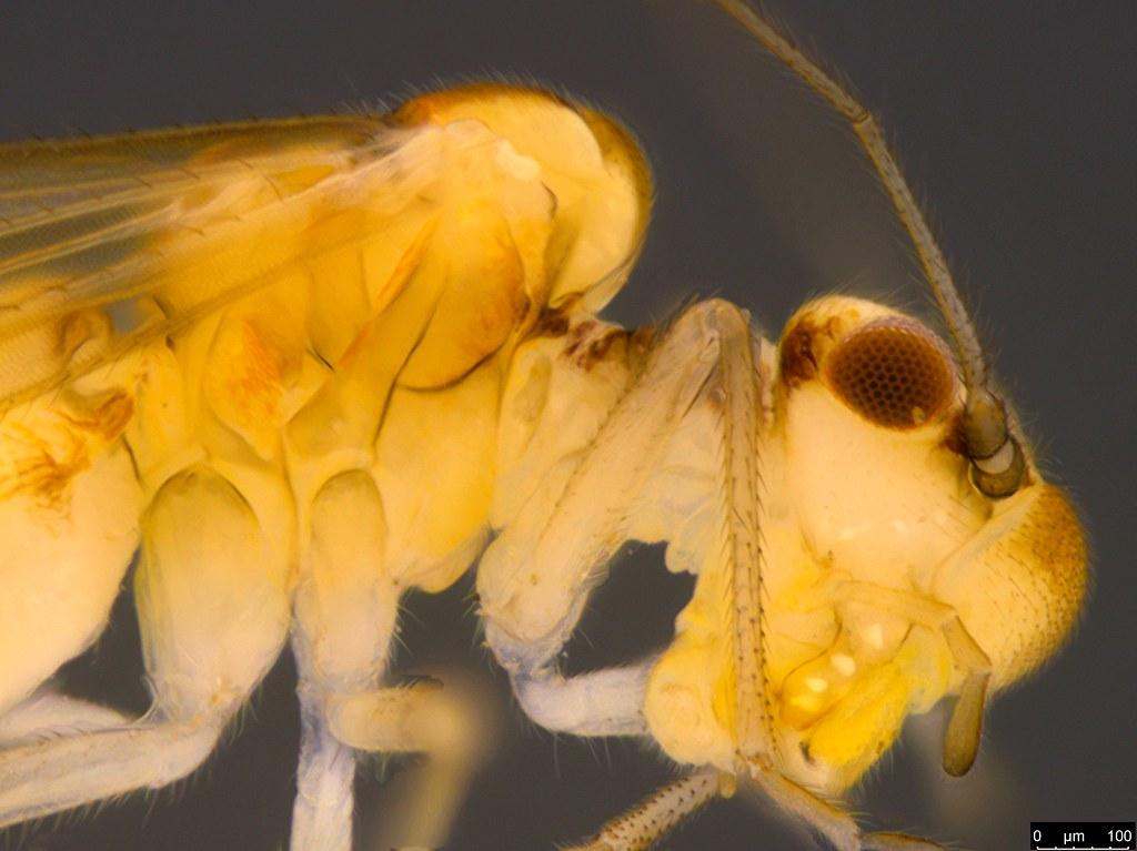 18a - Psocodea sp.