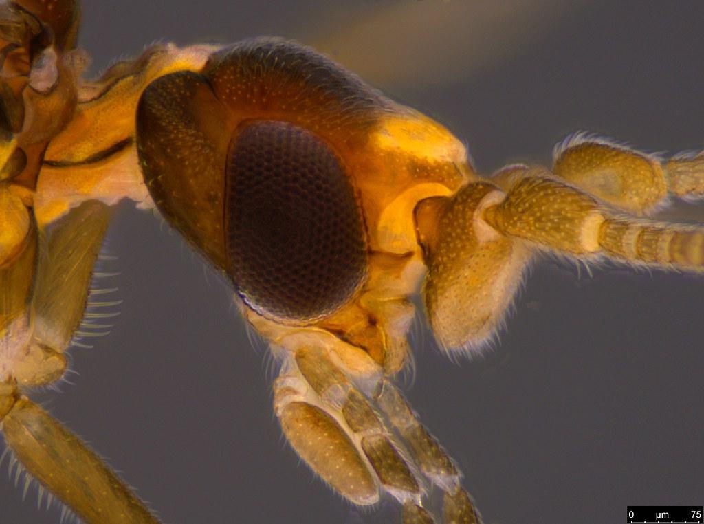 20c - Neosemidalis sp.