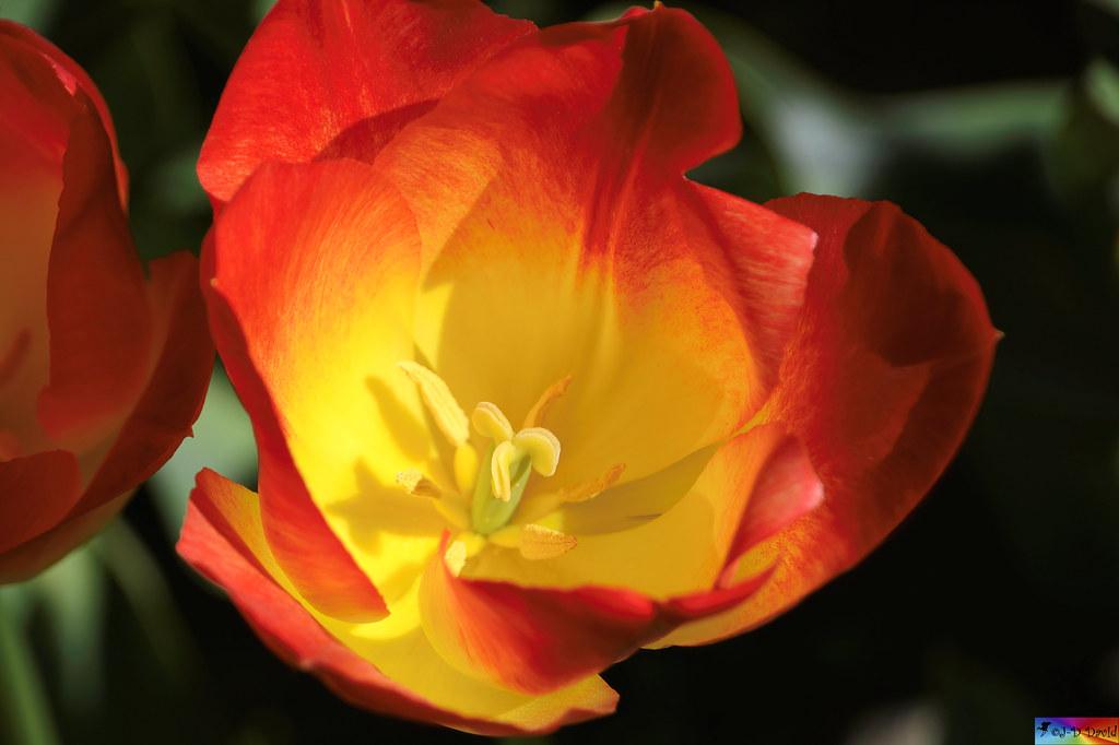Au cœur de la Tulipe