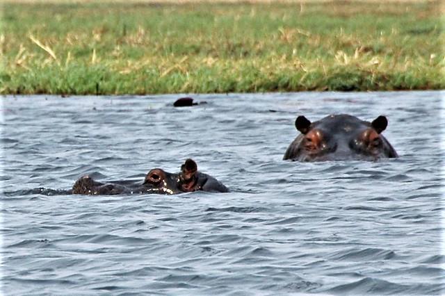 Hippos in the Chobe River - Botswana