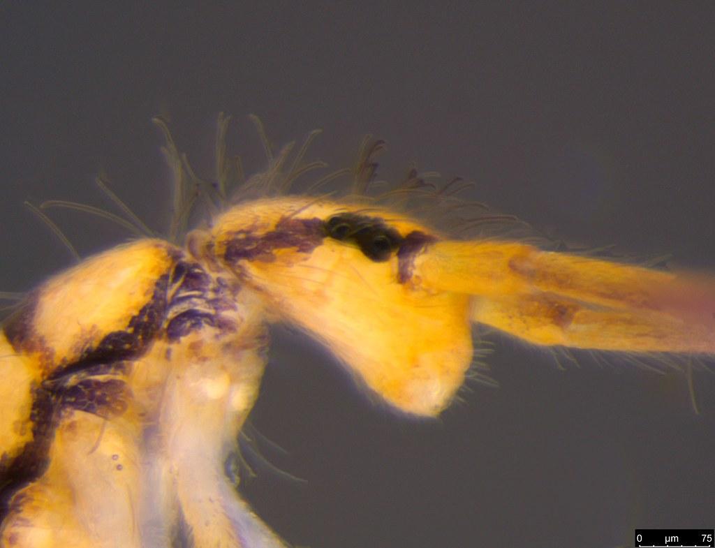 2b - Lepidosira sp.