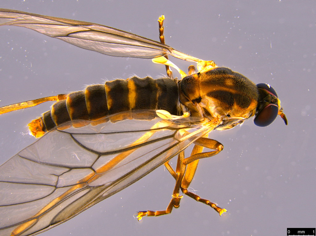5b - Therevidae sp.