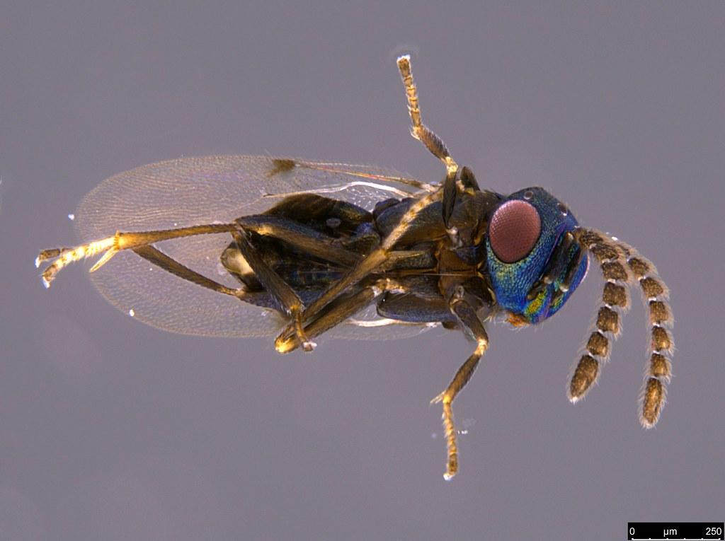 9a - Encyrtidae sp.