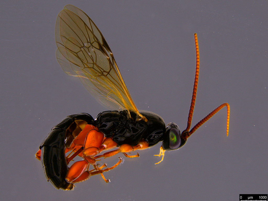10a - Ichneumonidae sp.