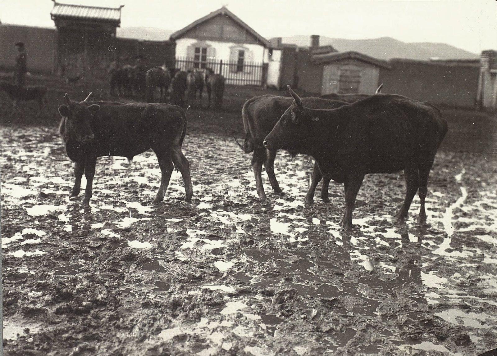 Урга. Рогатый скот на Ургинском базаре (1)