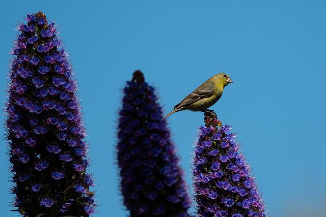 Lesser Goldfinch (female) on Pride of Madeira (Echium candicans)