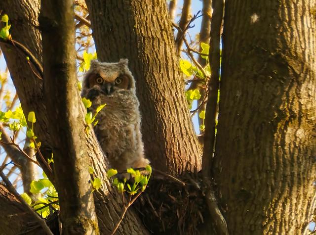 Great Horned Owlet #2