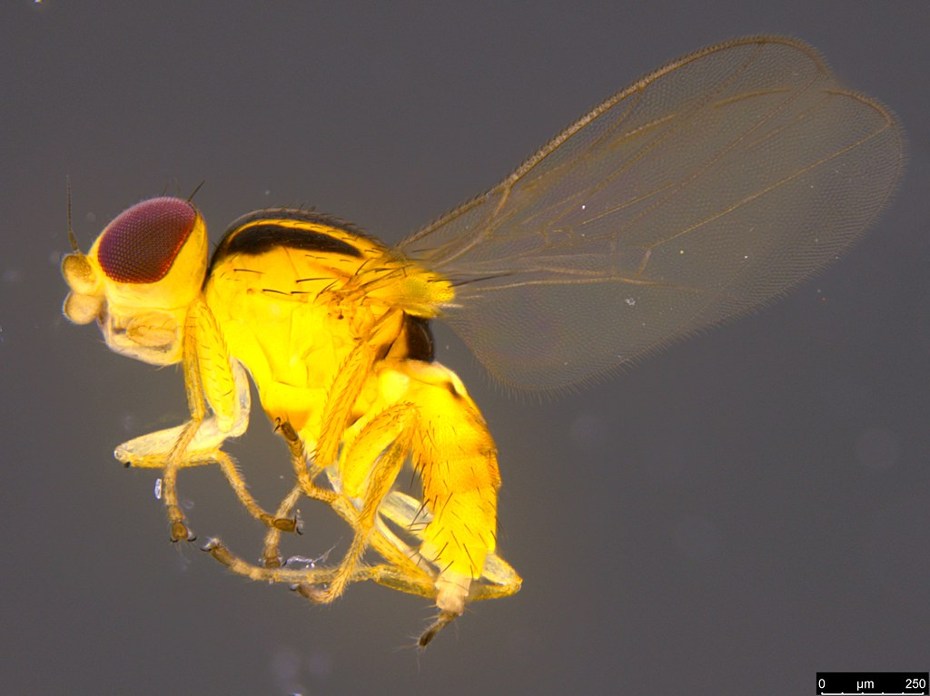 6a - Chloropidae