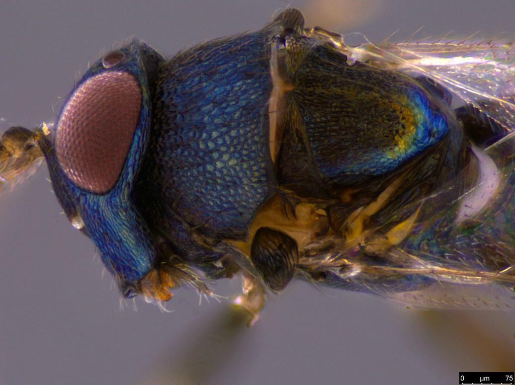 9c - Encyrtidae sp.