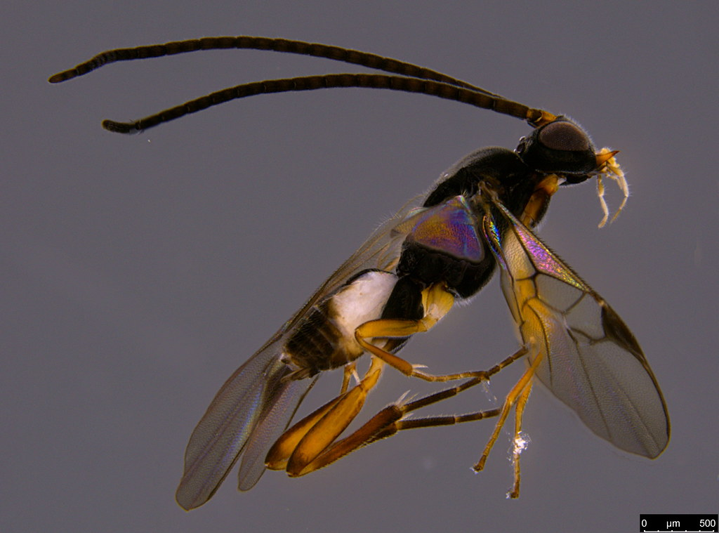 15a - Braconidae sp.